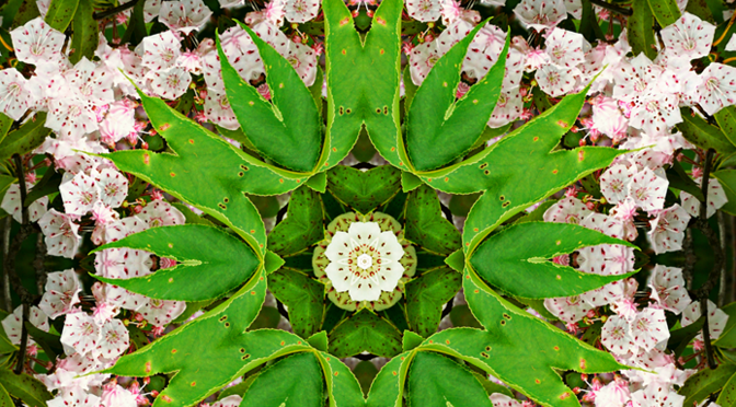 Mountain Laurel Mandala